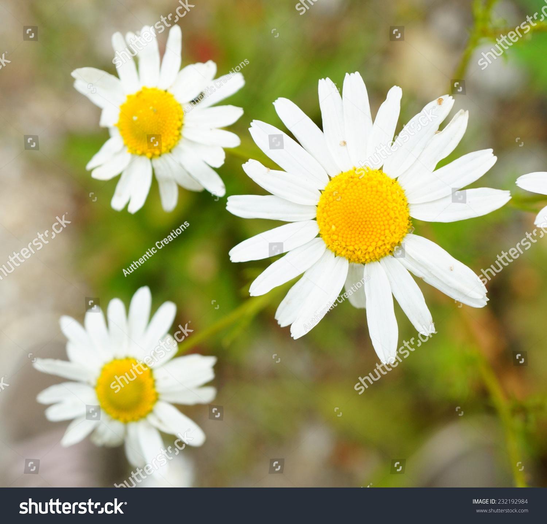 Flower White Petals Yellow Center Stock Photo Edit Now 232192984
