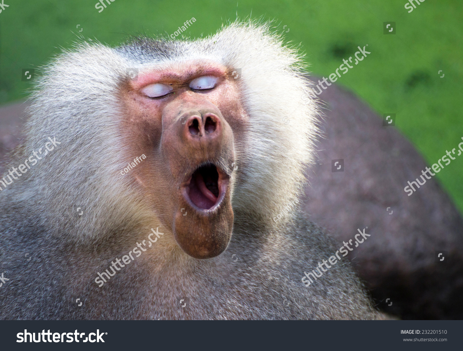 Male Baboon Stock Photos & Male Baboon Stock Images - Alamy