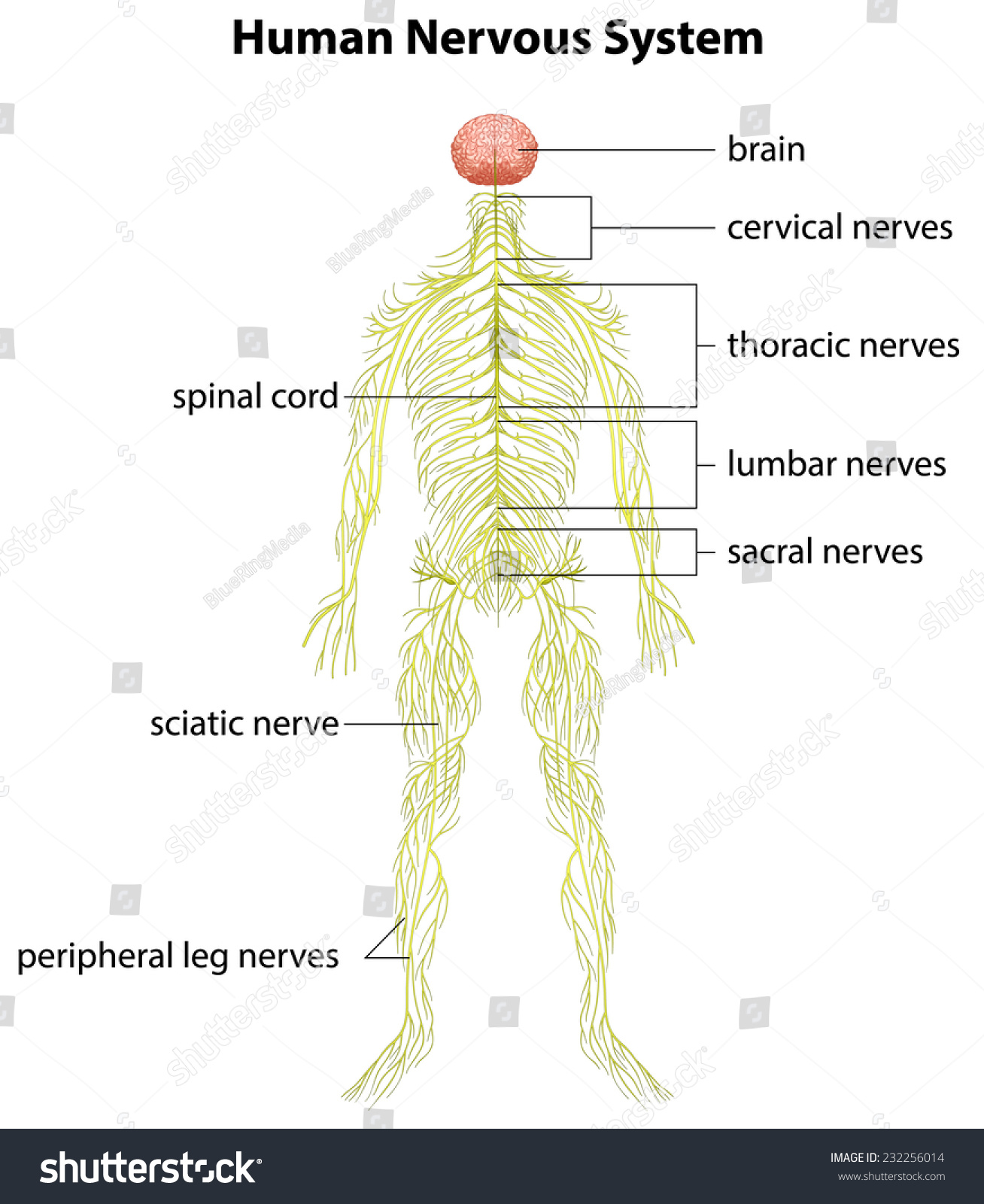 Image Showing Human Nervous System Stock Vector Royalty Free