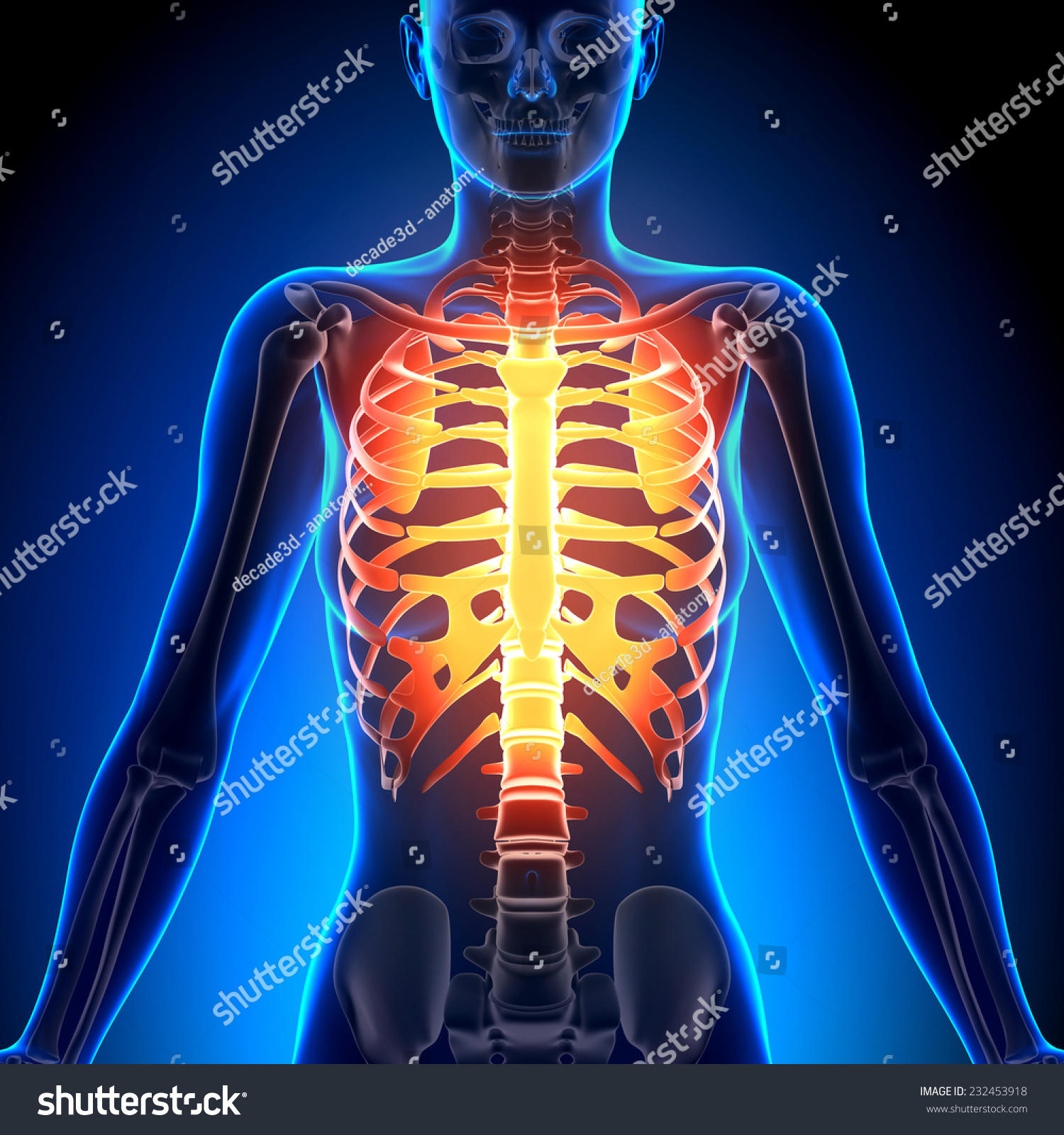 Female Rib Cage Anatomy Bones Stock Illustration 232453918