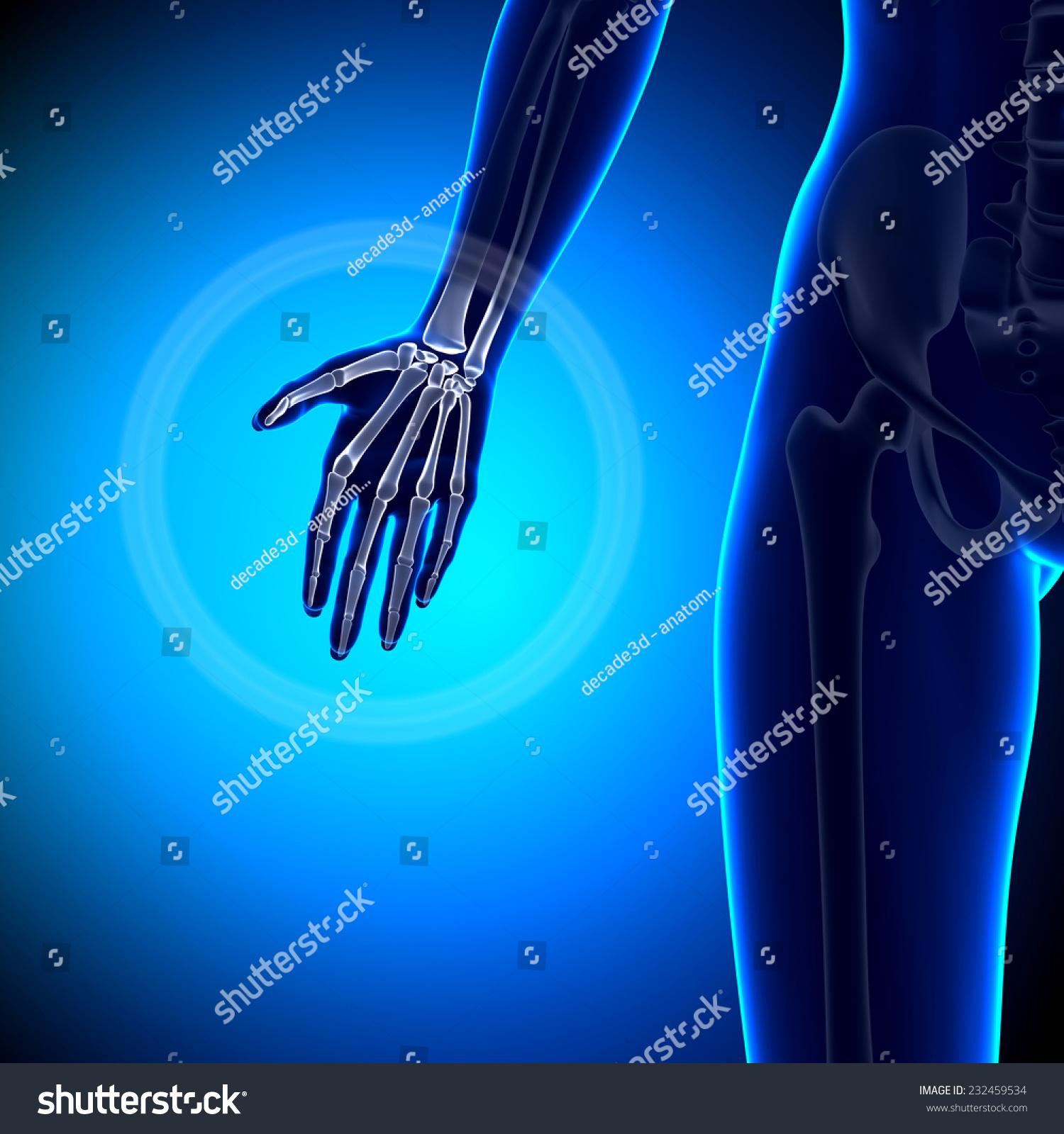 Female Hand Anatomy Bones Stock Illustration 232459534 Shutterstock