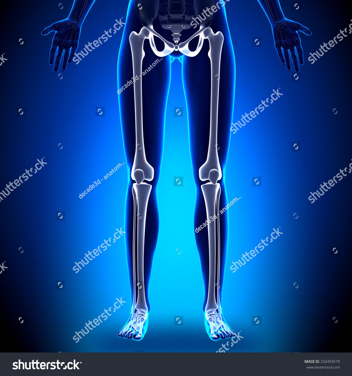 Female Legs Anatomy Bones Stock Illustration 232459579 Shutterstock