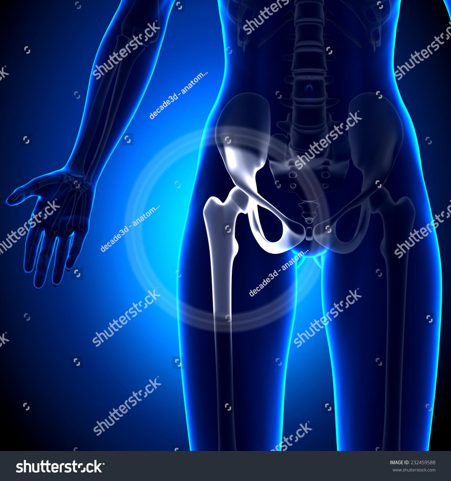 Female hip anatomy
