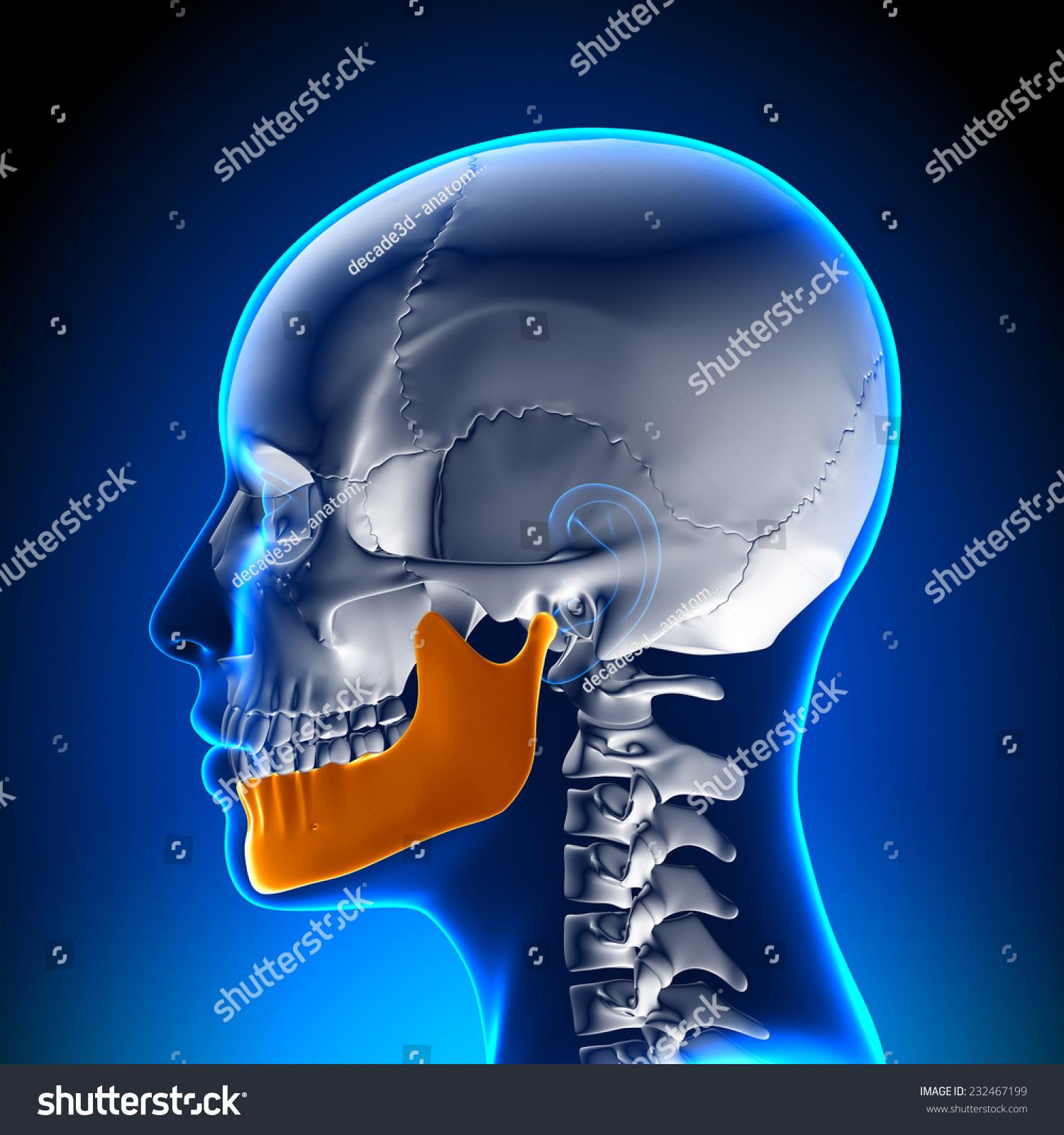 Female Mandible Jaw Anatomy Stock Illustration 232467199 - Shutterstock