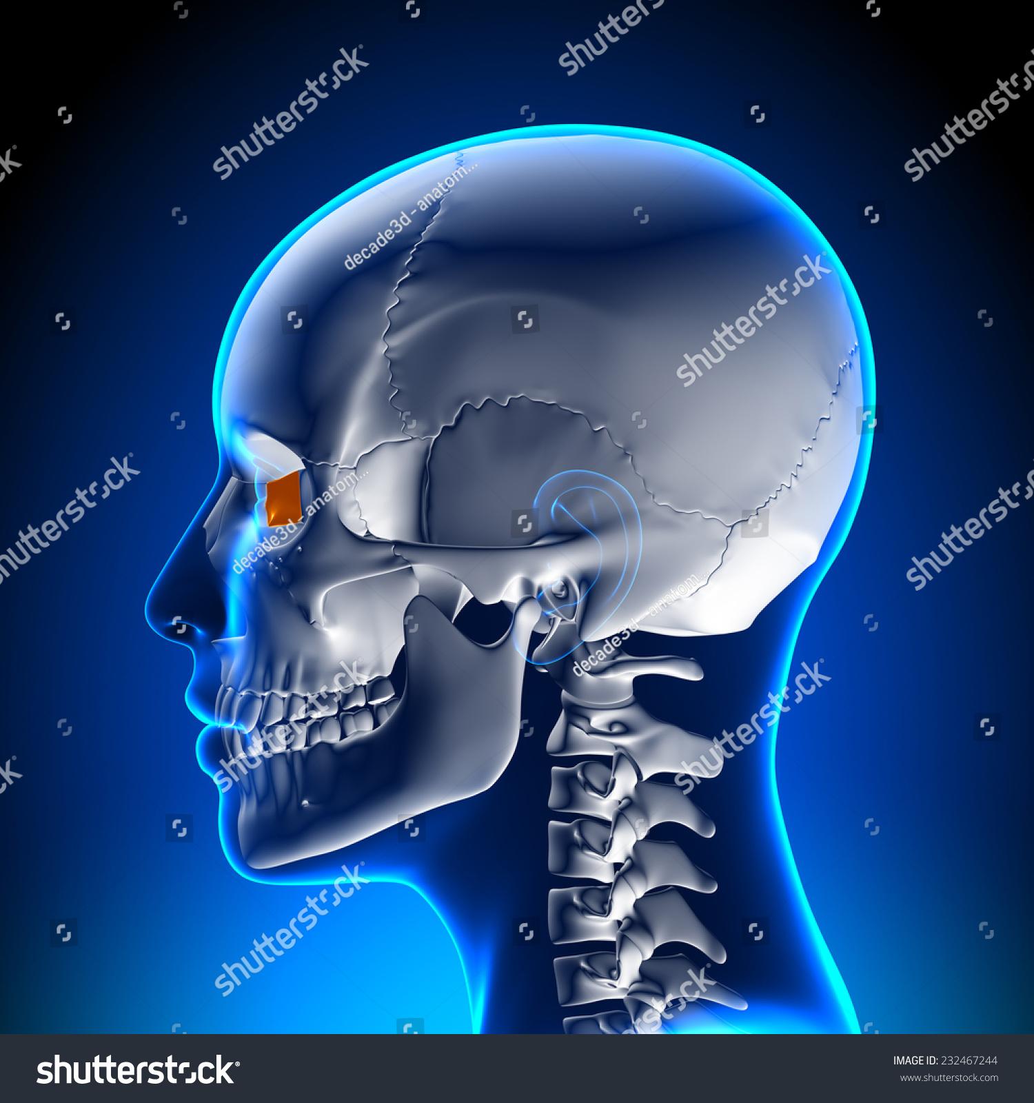 Female Lacrimal Bone Skull Anatomy Stock Illustration 232467244 ...