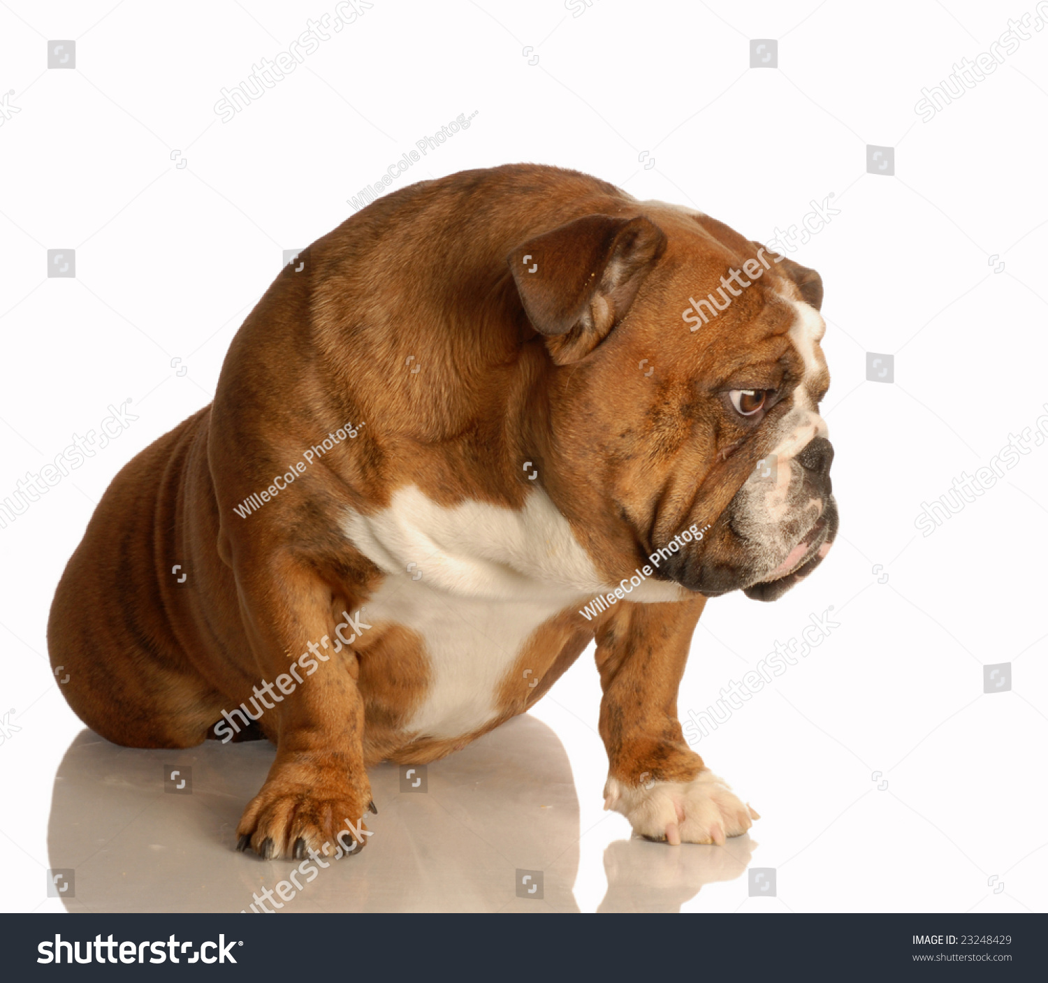 English Bulldog Sitting With Sad Expression On Her Face ... Sad Bulldog Face