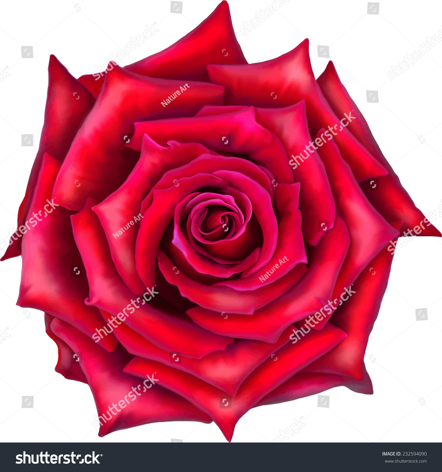 Big red rose flower front view isolated on white - Big rose flower wallpaper ...