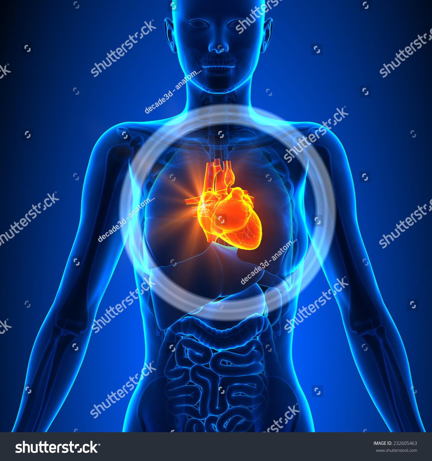 Heart Female Organs Human Anatomy Stock Illustration 232605463 ...
