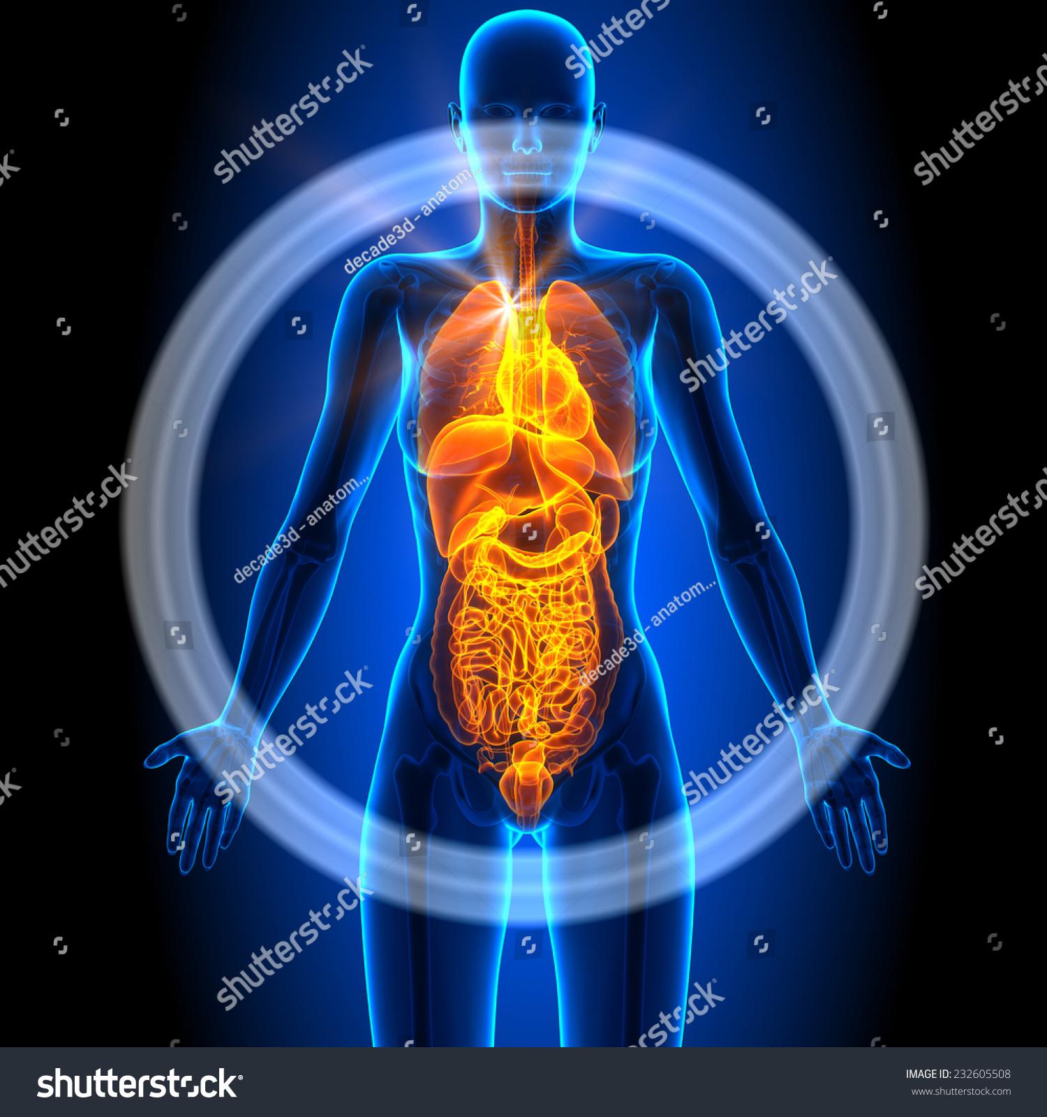 All Female Internal Organs Human Anatomy Stock Illustration