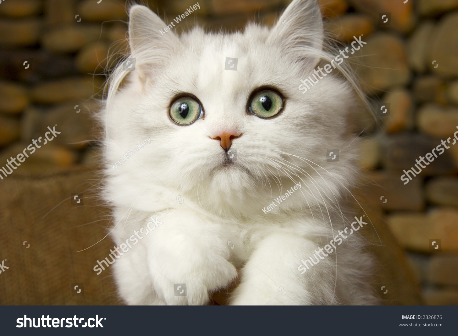 Beautiful Persian Cat White Kitten Green Stock Photo ...