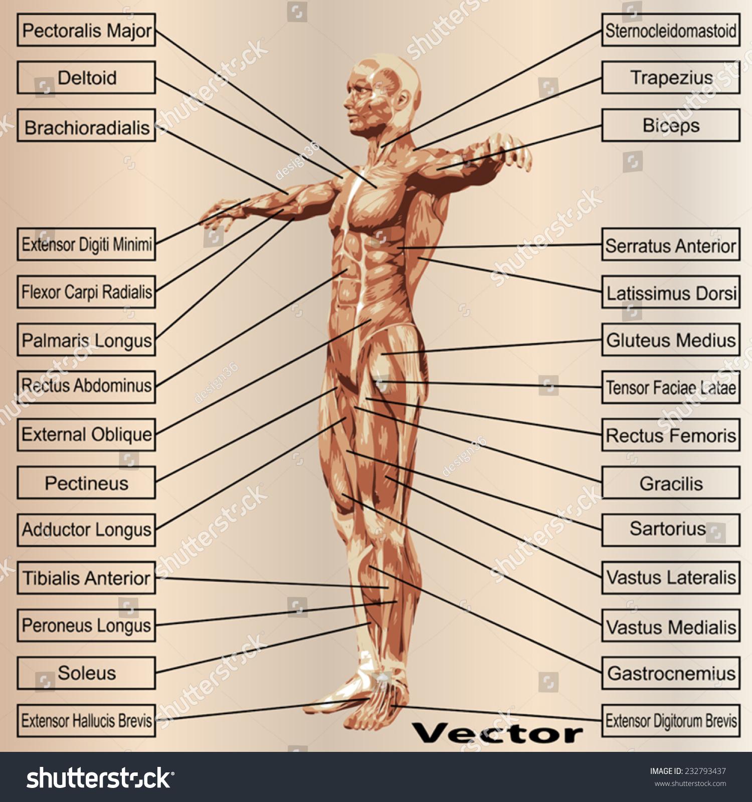 Fantastisch 7. Hirnnerv Anatomie Bilder - Anatomie Ideen - finotti.info