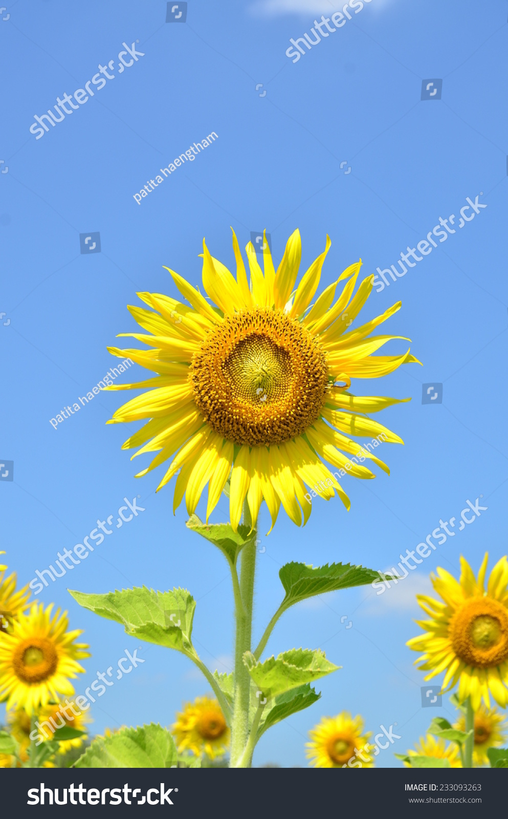 sunflowers flowers yellow green background nature wallpaper | ez canvas