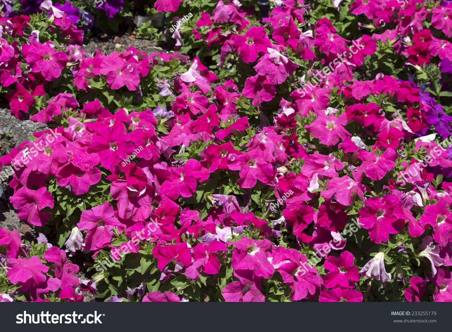 Cheerful Single Pink Flowers Of Annual Petunias Family Solanaceae