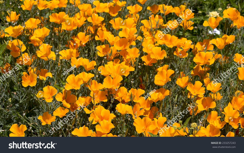 Brilliant Buttercup Yellow Flowers Of Eschscholzia Californica