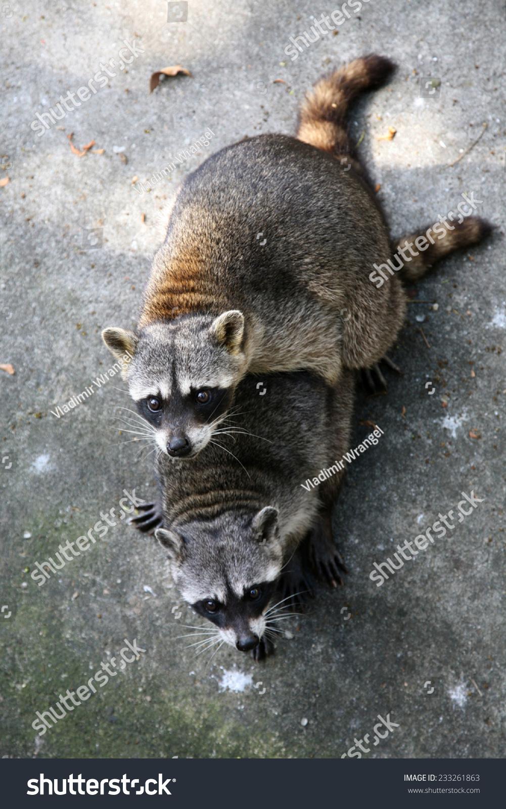 two common raccoons procyon lotor having stock photo 233261863