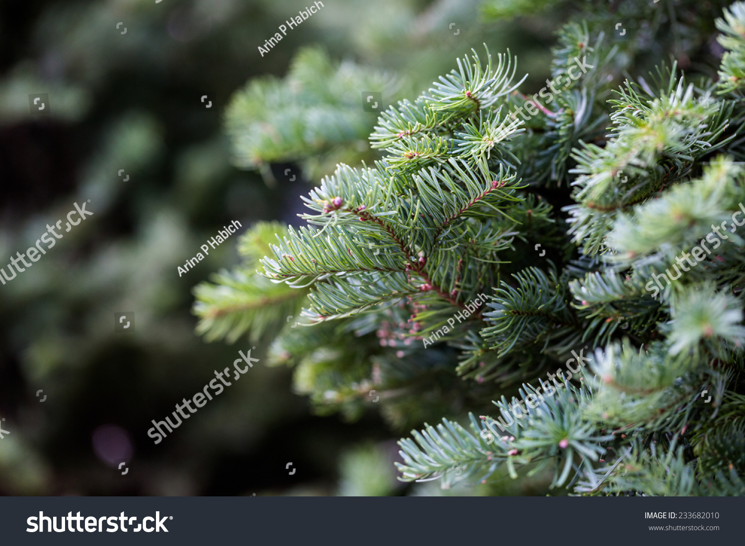 Beautiful Fresh Cut Christmas Trees Christmas Stock Photo Edit Now 233682010
