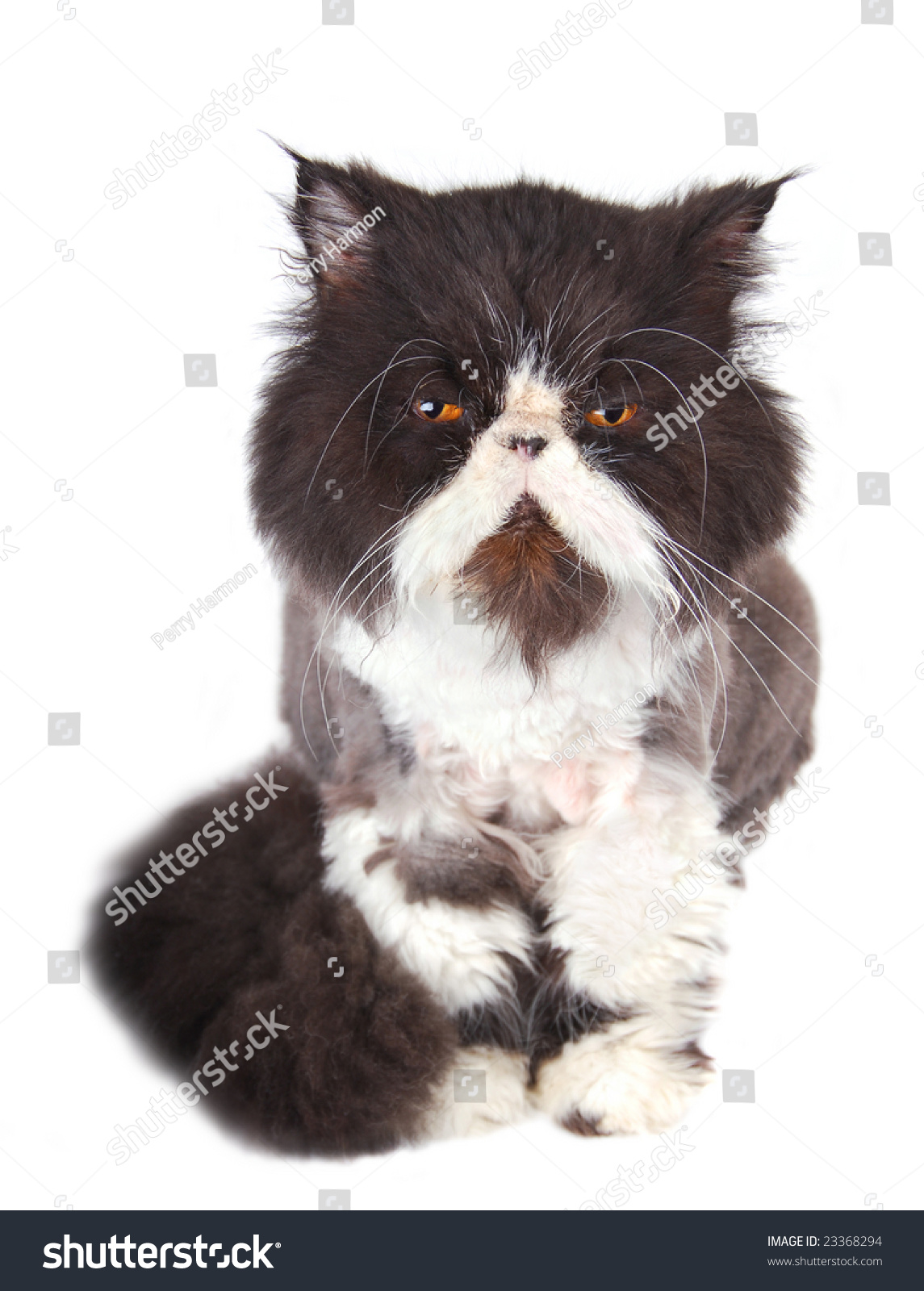 Black White Orange Eyed Persian Cat Stock