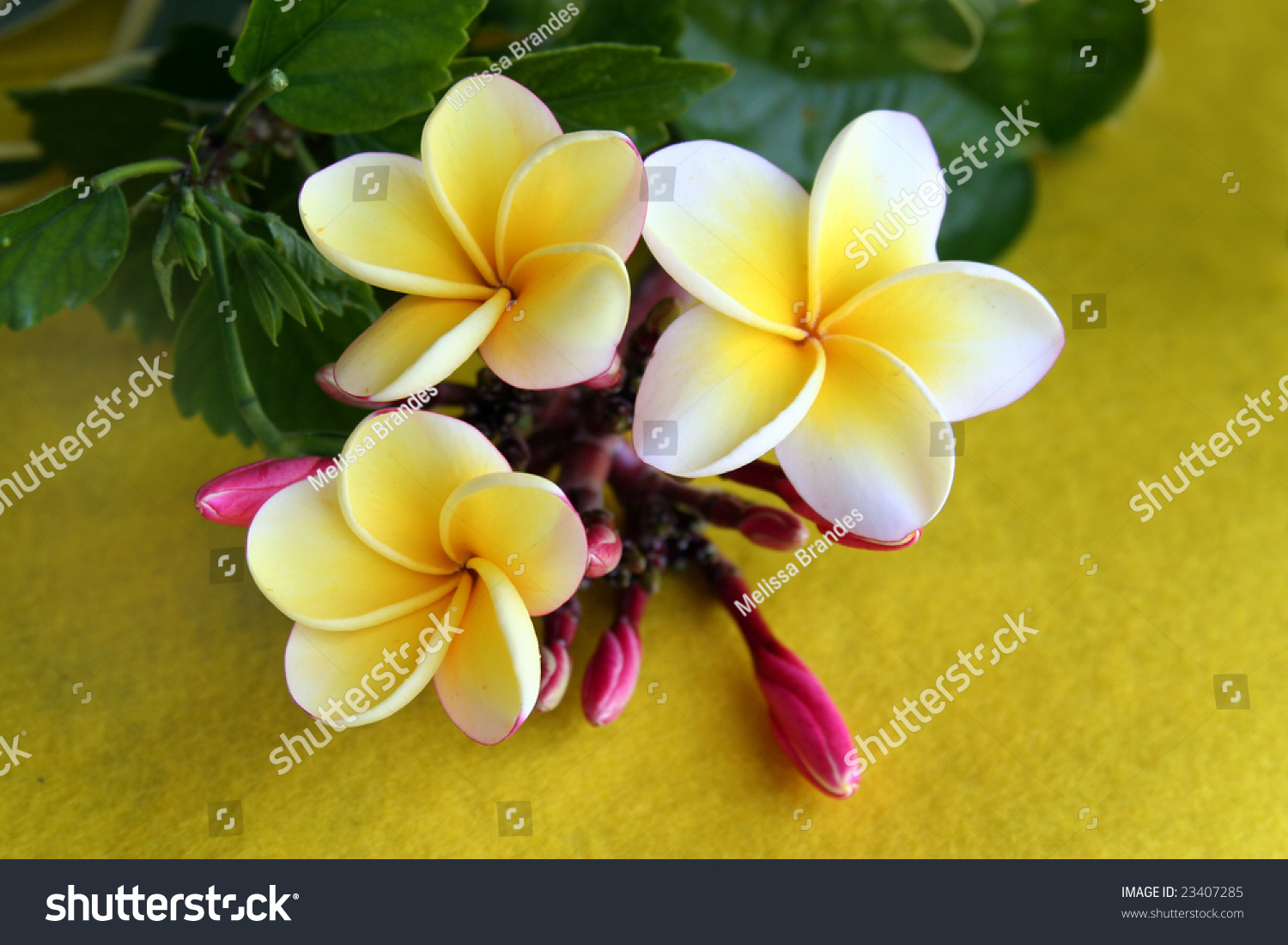 Hawaiian plumeria flowersthese flowers used make stock photo hawaiian plumeria flowers these are the flowers used to make leis izmirmasajfo Choice Image