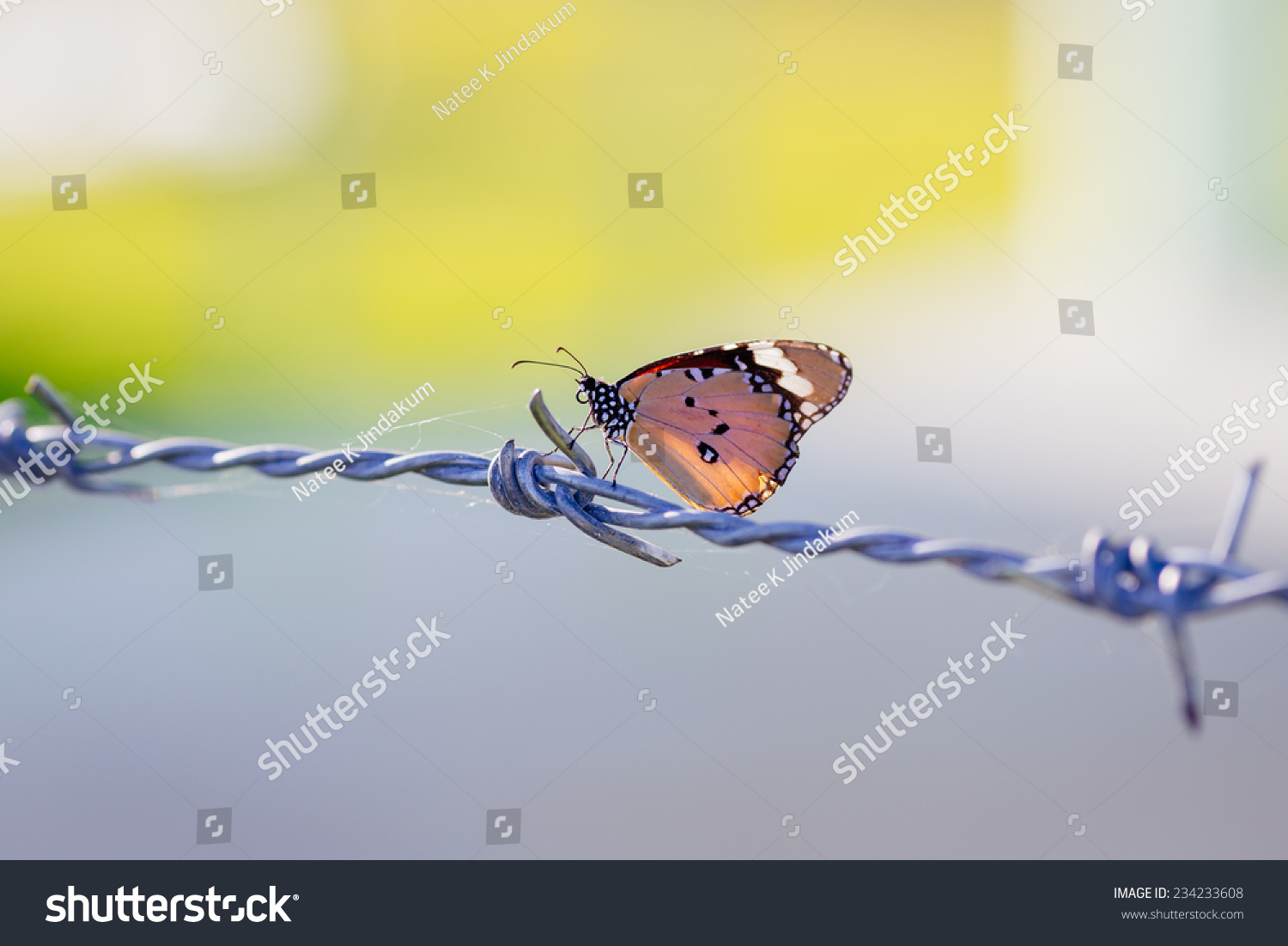 Butterfly on barbed wire symbol freedom stock photo 234233608 a butterfly on barbed wire a symbol of freedom in the prison buycottarizona