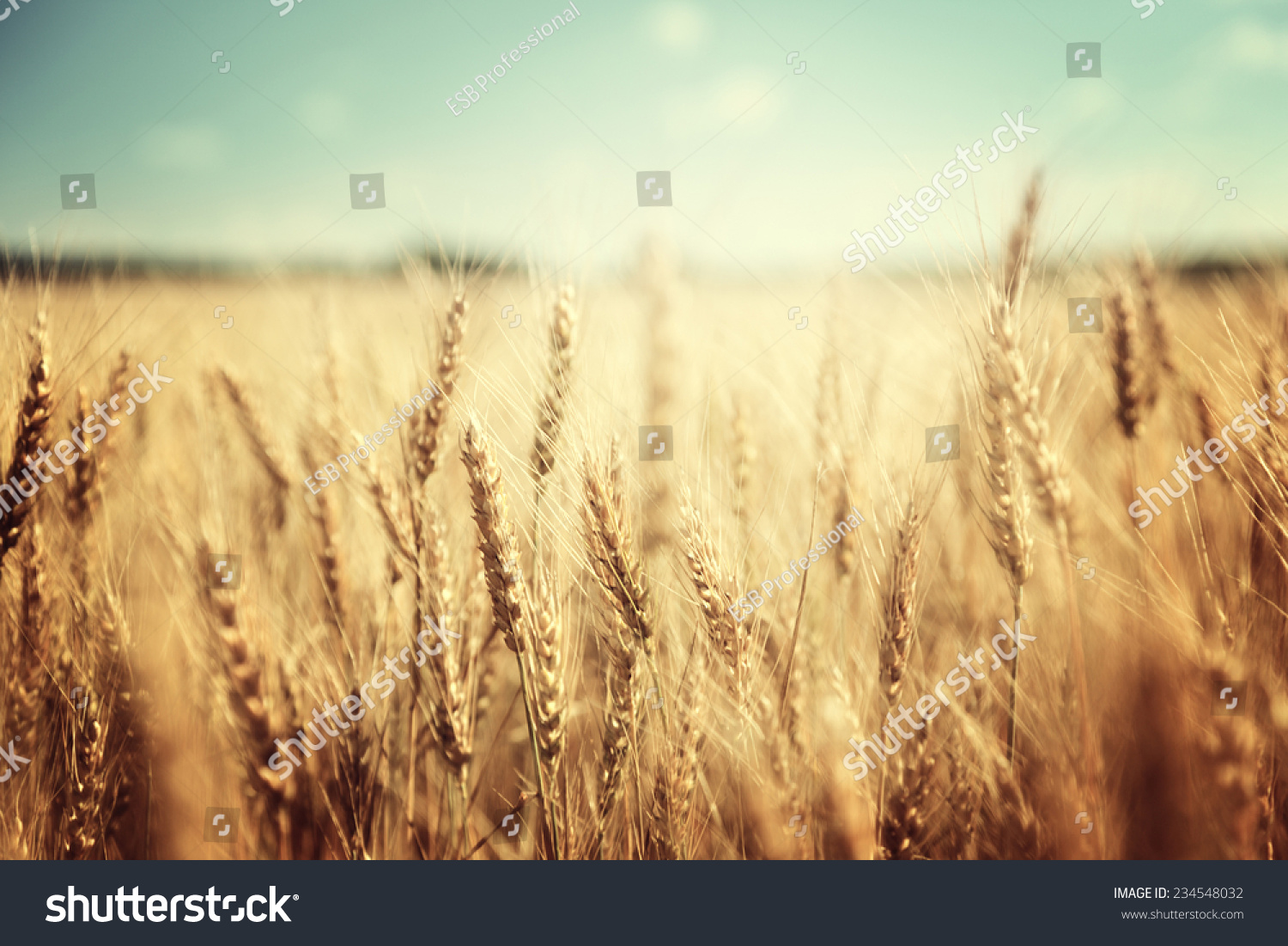 golden wheat field and sunny day #234548032
