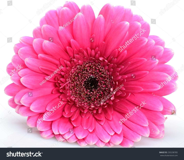 Beautiful Single Flower Pink Gerberas Lying Stock Photo Edit Now