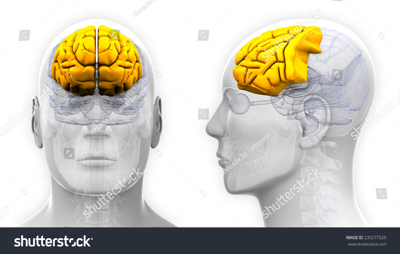 Male Frontal Lobe Brain Anatomy Isolated Stock Illustration ...