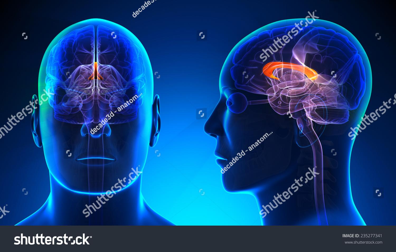 Male Corpus Callosum Brain Anatomy Blue Stock Illustration 235277341