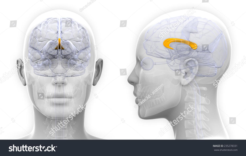 Female Corpus Callosum Brain Anatomy Isolated Stock Illustration ...