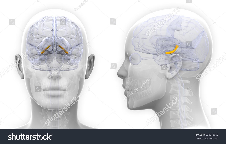 Female Hippocampus Brain Anatomy Isolated On Stock Illustration ...