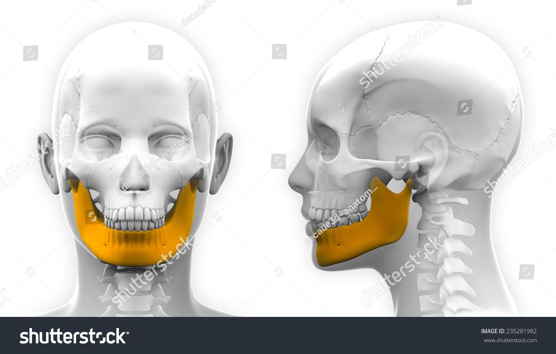 Female Mandible Bone Skull Anatomy Isolated Stock Illustration