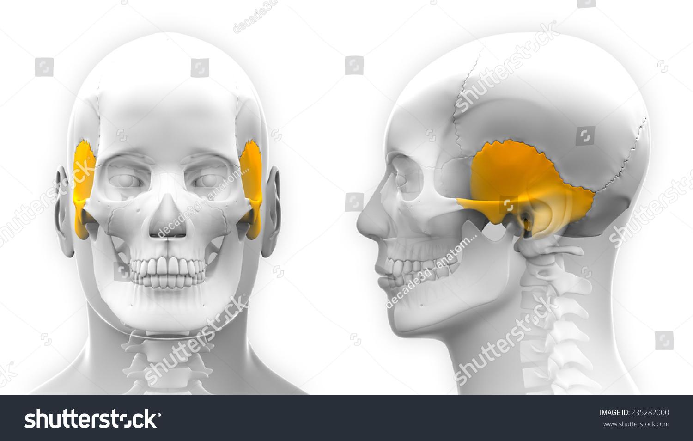 Male Temporal Bone Skull Anatomy Isolated Stock Illustration ...