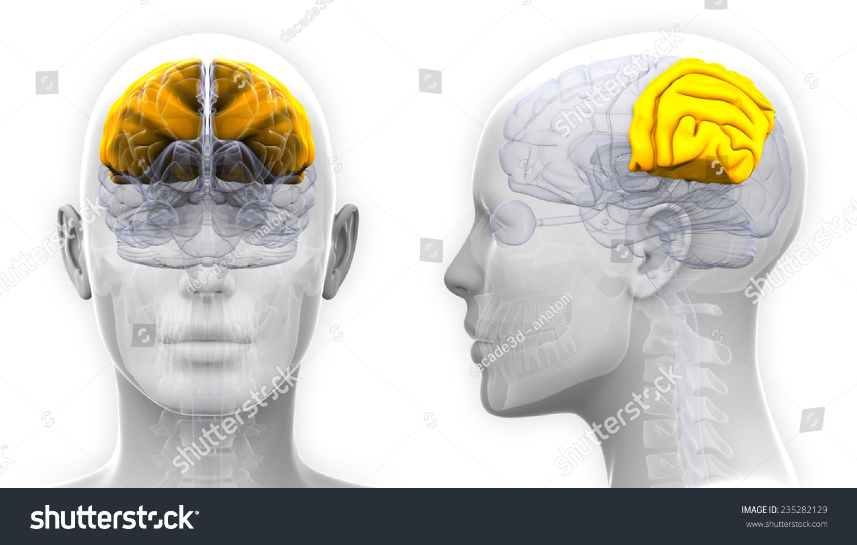 Royalty Free Stock Illustration Of Female Parietal Lobe Brain