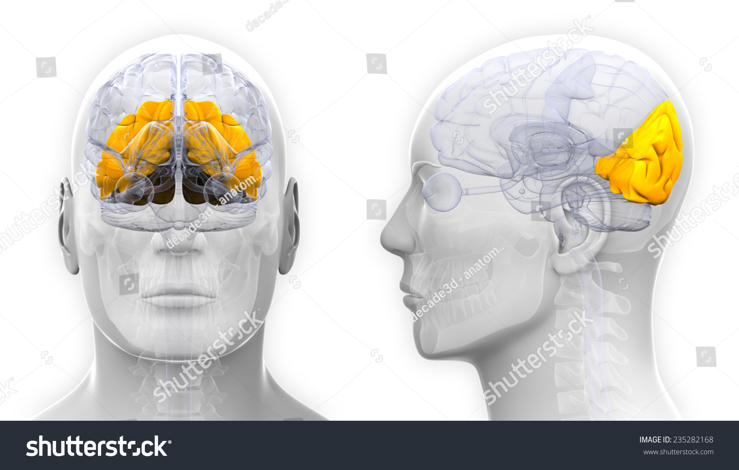 Male Occipital Lobe Brain Anatomy isolated on white