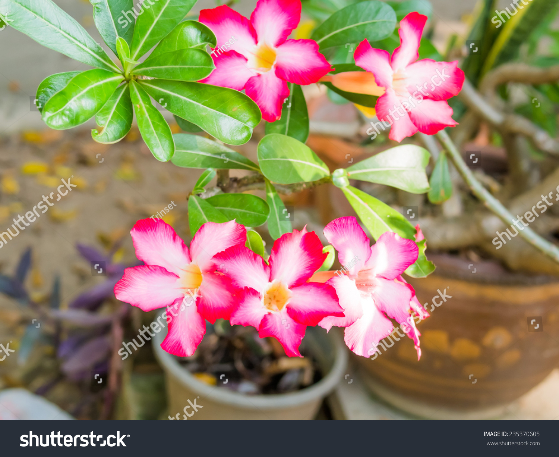 Pink Desert Rose Impala Lily Flower Stock Photo Edit Now 235370605