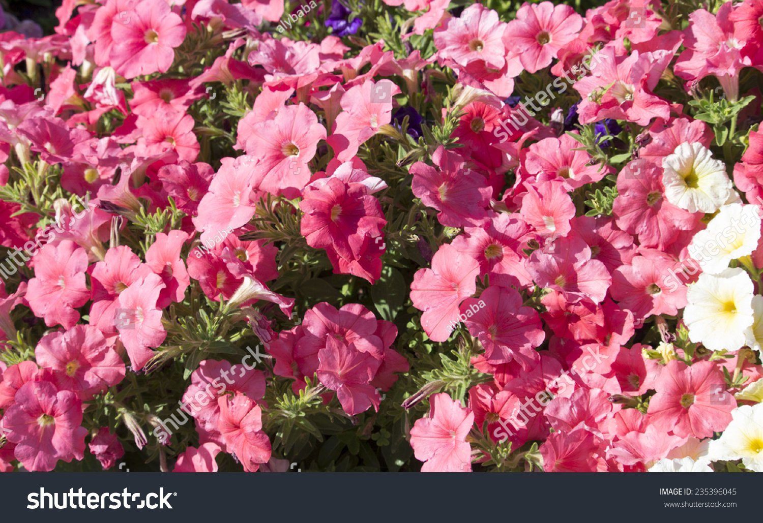 Cheerful Large Single Pink Flowers Of Annual Petunias Family
