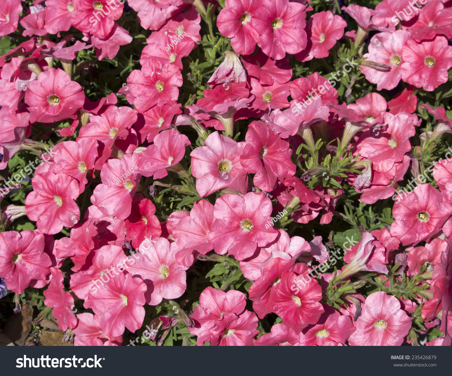 Cheerful large single pink flowers annual stock photo edit now cheerful large single pink flowers of annual petunias family solanaceae blooming in a massed garden bed izmirmasajfo