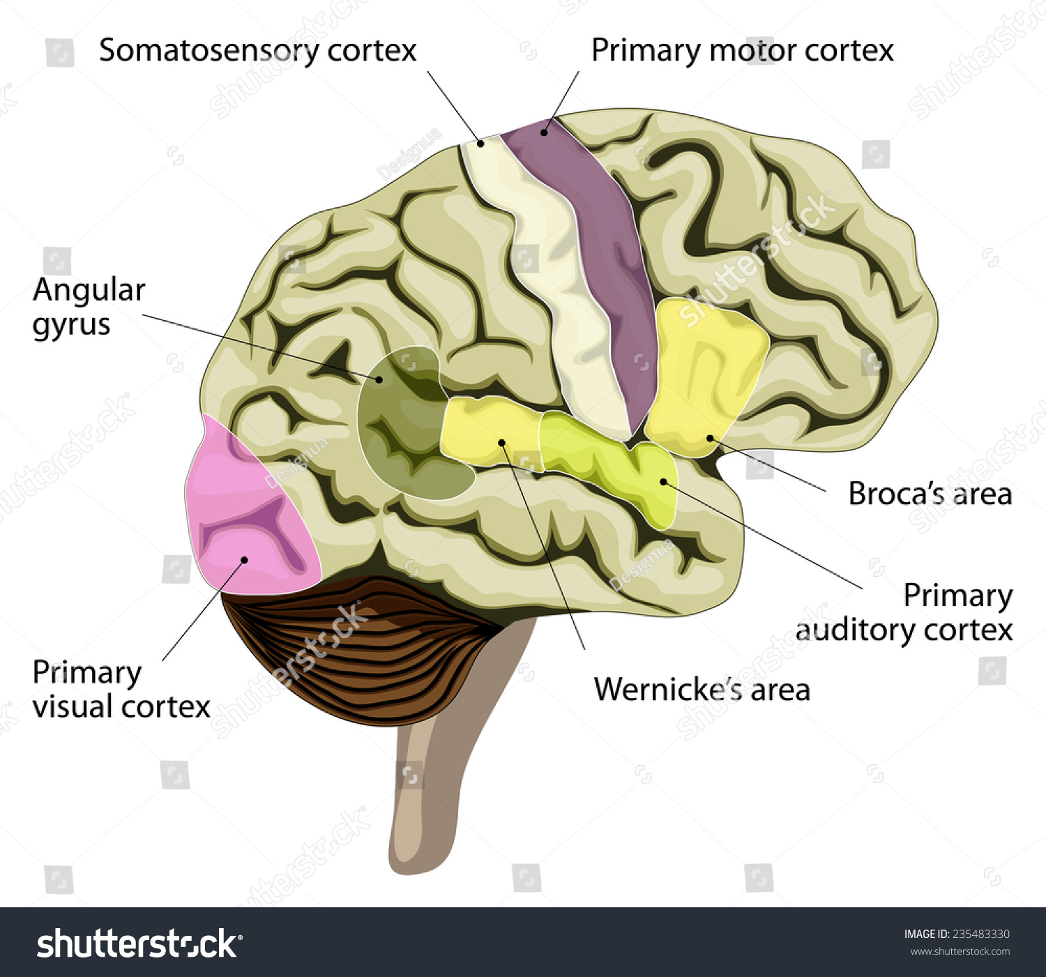 Human brain languageprocessing areas brain brocas stock illustration the human brain language processing areas in the brain brocas area wernickes ccuart Image collections