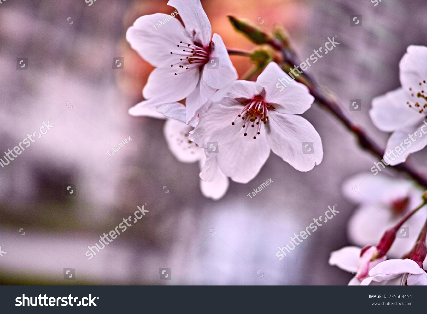 Short Lived Sakura Cherry Flower Most Stock Photo Royalty Free