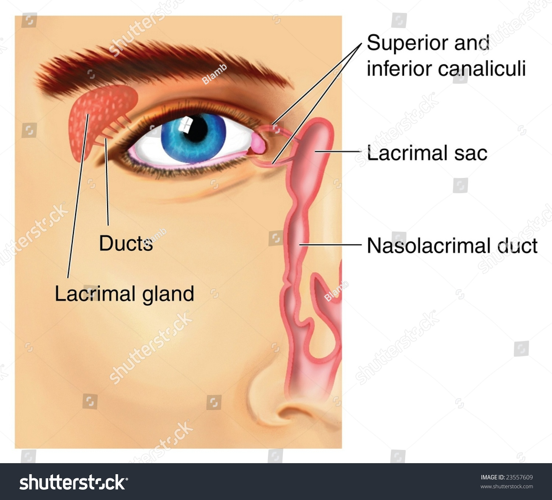 Lacrimal Apparatus Stock Illustration 23557609 Shutterstock