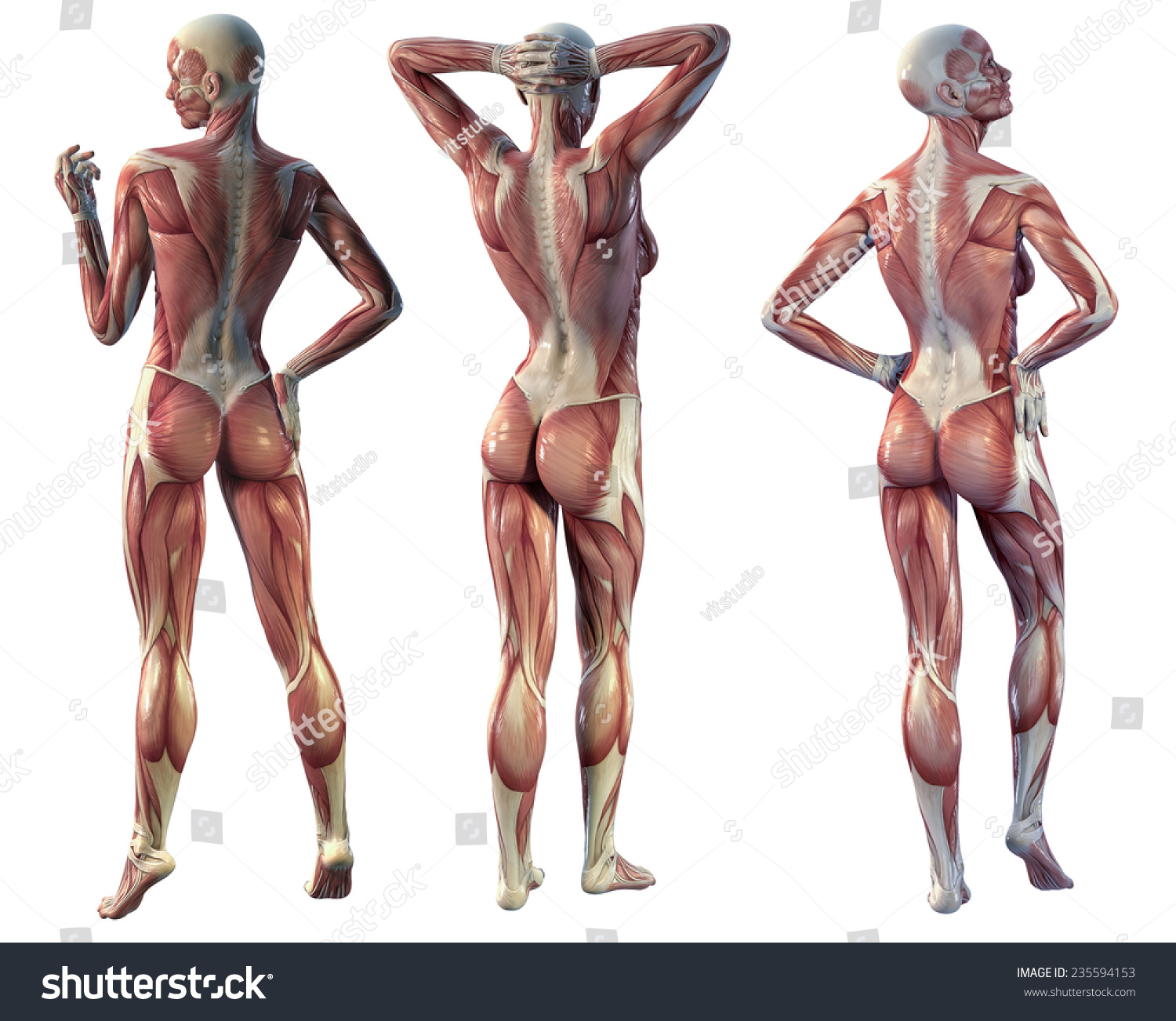 muscle woman back view on white stock illustration 235594153, Muscles