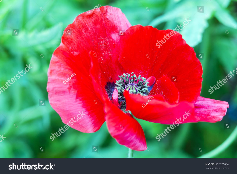 Royalty Free Poppy Flower A Poppy Flower In Full 235776064 Stock