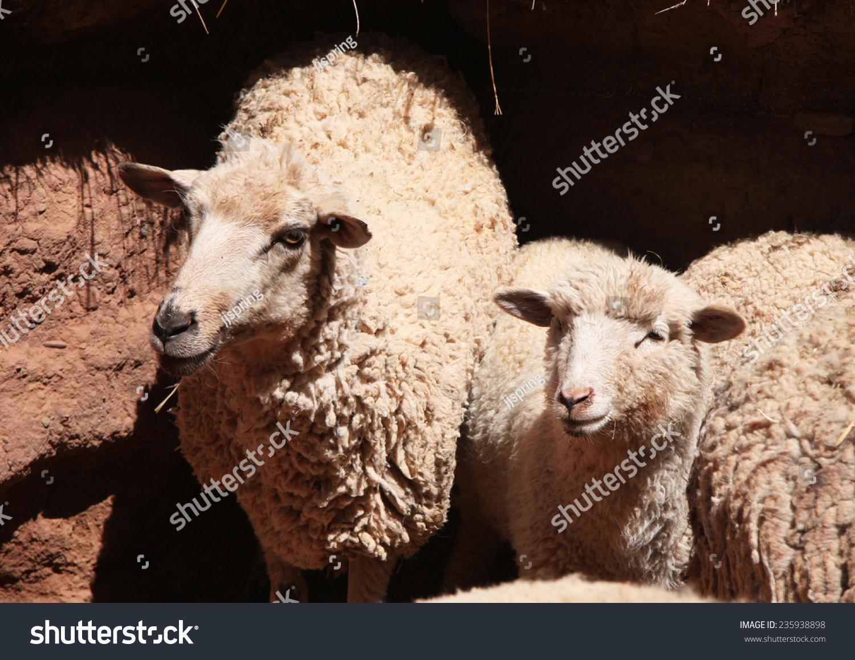 White sheep herd - photo#18