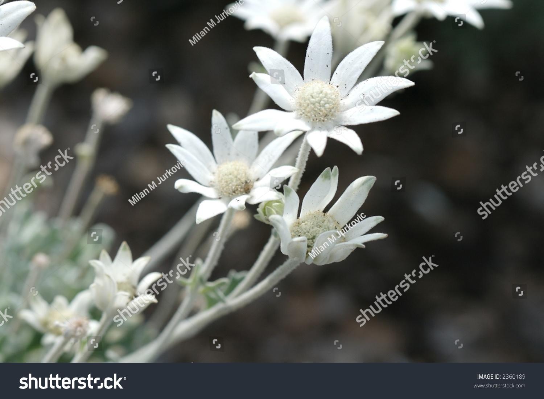 Few White Australian Native Flowers Stock Photo Edit Now 2360189