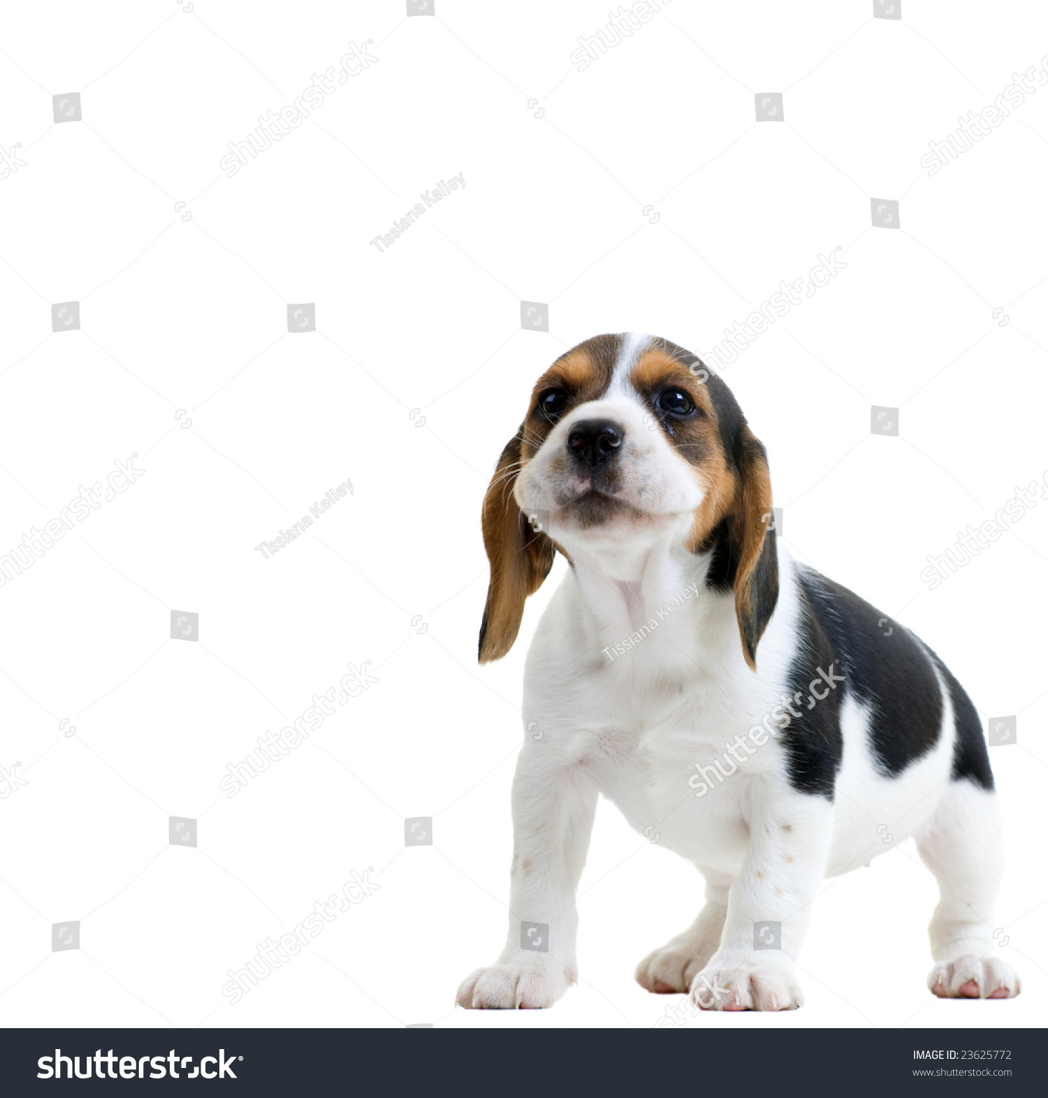 Beagle Puppy Howling Isolated On White Stock Photo Edit Now 23625772
