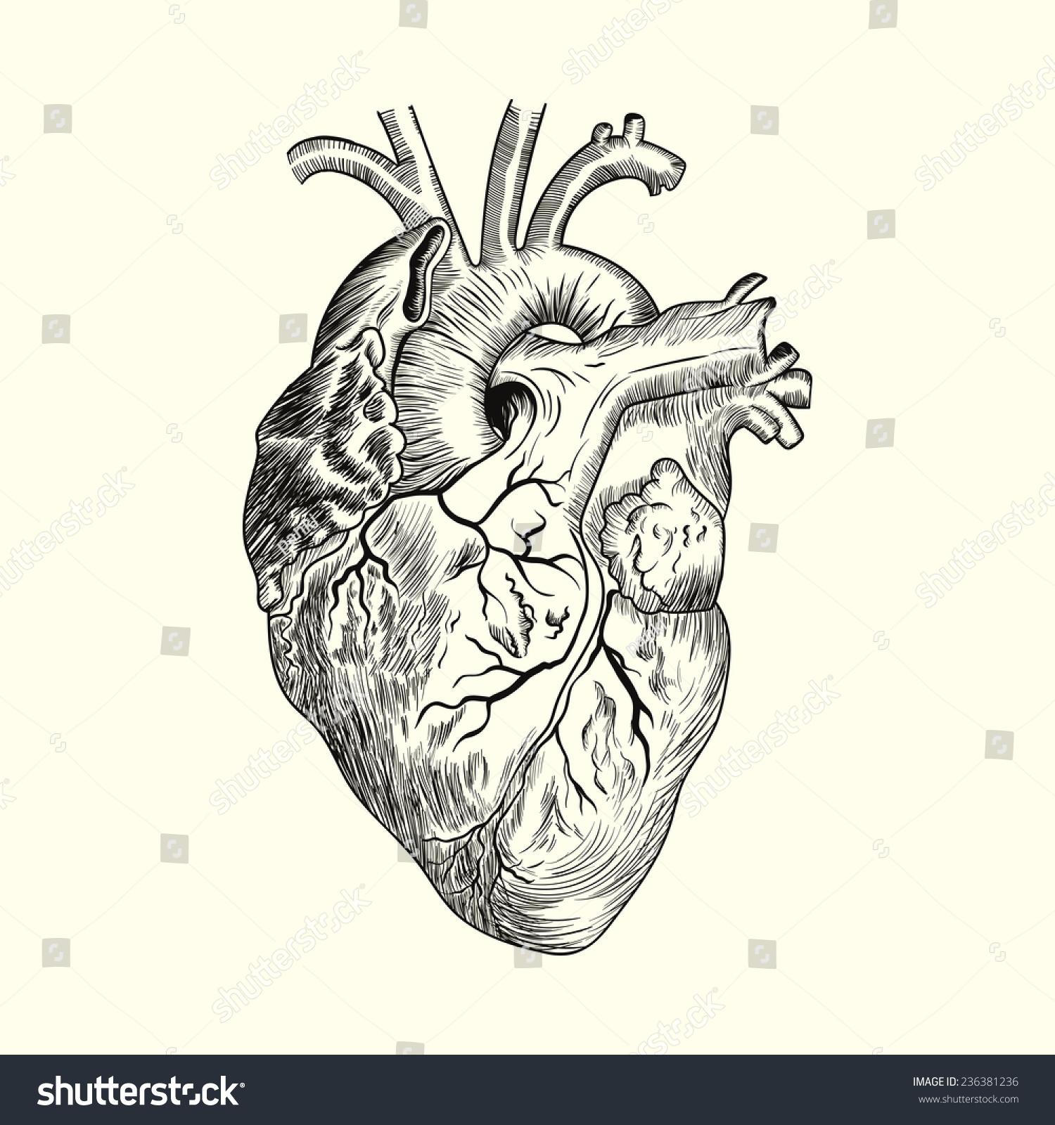 Hand Drawn Human Heart Sketch Anatomical Stock Vector Royalty Free