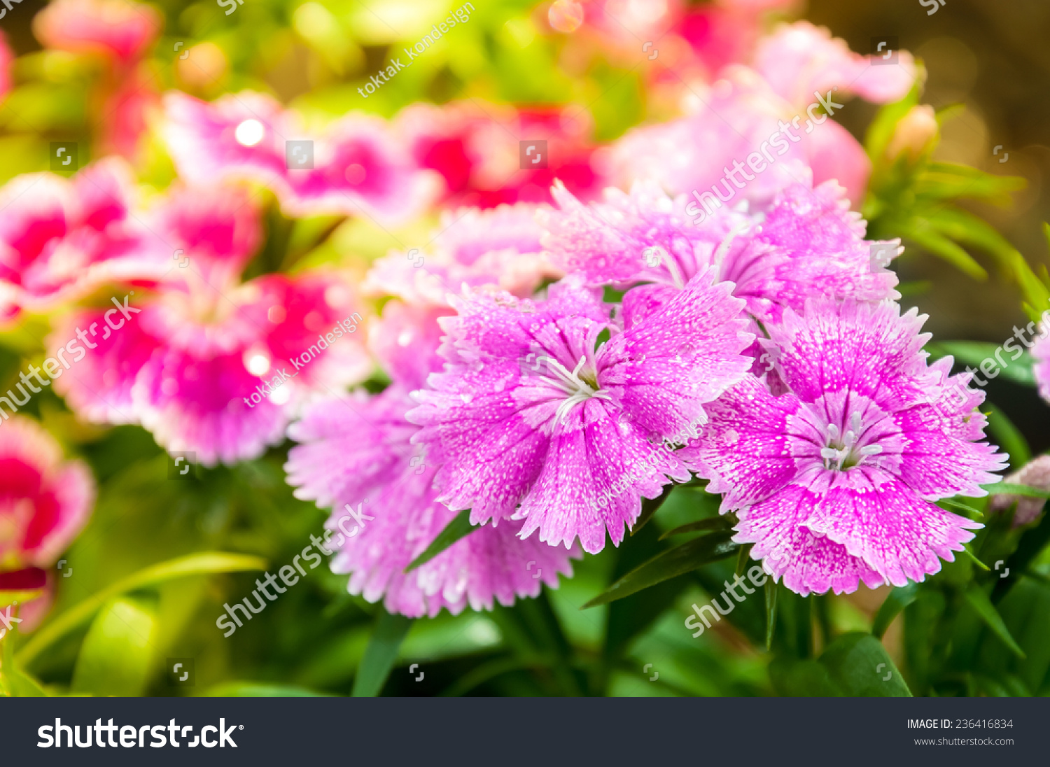 China Pink Dianthus Chinensis L Flower Stock Photo Edit Now