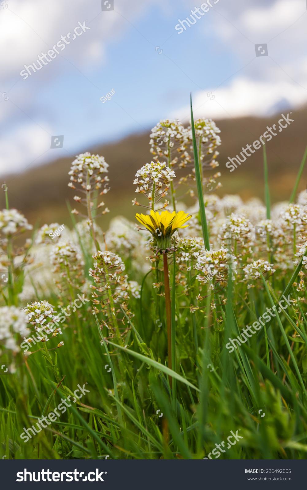White Yellow Flowers Meadow Detail White Stock Photo Royalty Free