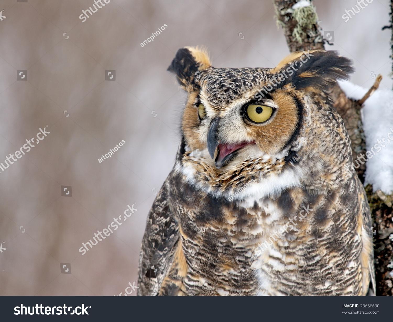 Great Horned Owl Closeup With Beak Open. Stock Photo ...