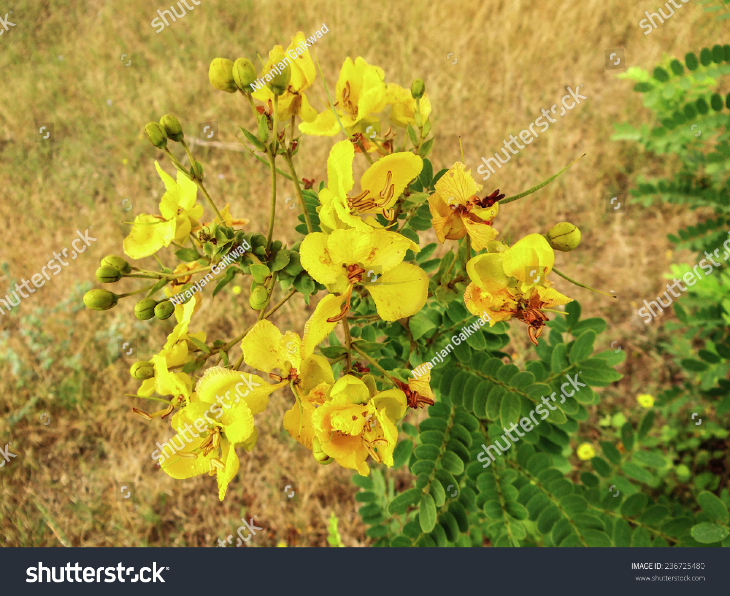 Yellow Flowers India Stock Photo Edit Now 236725480 Shutterstock