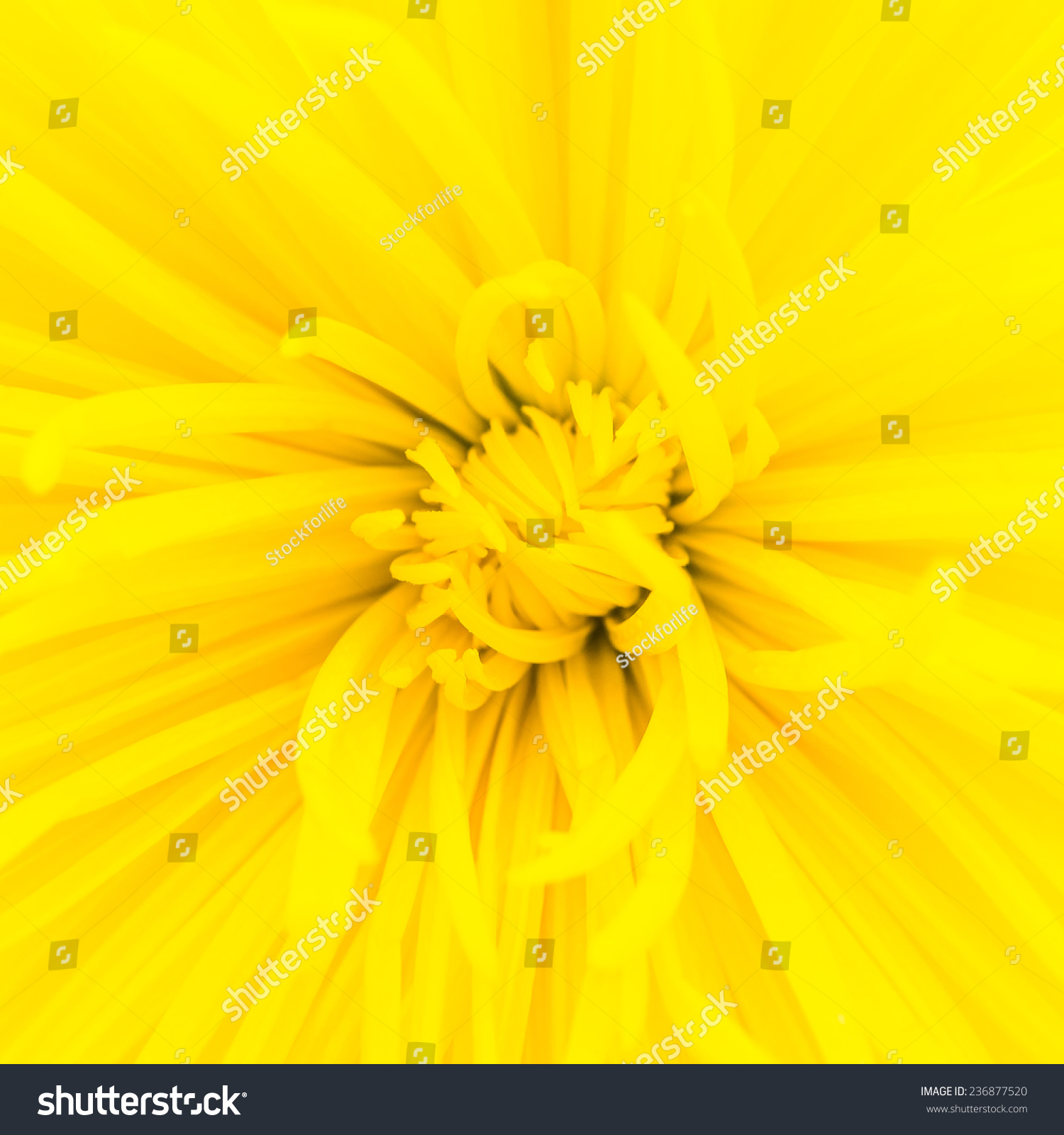 Close Yellow Flower Background Stock Photo Royalty Free 236877520